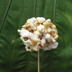 popcorn-flower